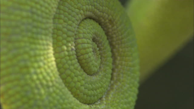 close up static - light shines on a curled cape dwarf chameleon's tail / south africa - scaly stock videos & royalty-free footage