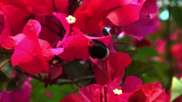 Close Up steadicam - A bumblebee lands on a vibrant red flower. / Johannesburg, South Africa
