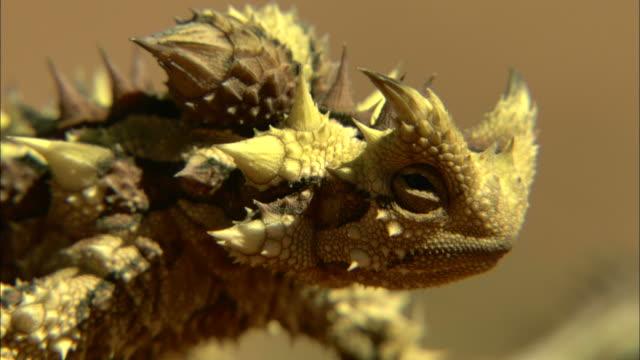 vidéos et rushes de close up steadicam - a little horned toad stands in a desert / simpson desert, australia - reptile