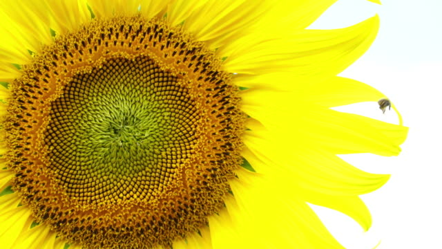 close up sunflower pollen and bee, sunny day at rai manee sorn, pak chong, nakhon ratchasima, thailand - pollen grain stock videos & royalty-free footage