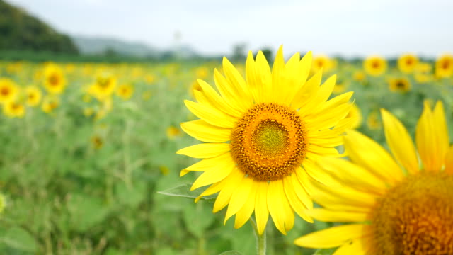 close up sunflower - comunidad foral de navarra stock videos and b-roll footage