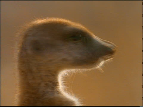 close up suricate (meerkat) turning head to camera / africa - djurhuvud bildbanksvideor och videomaterial från bakom kulisserna