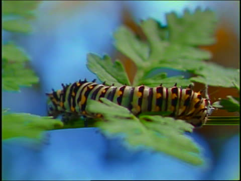 close up swallowtail caterpillar crawling along stem of green plant (parsley?) - cinematography stock videos & royalty-free footage