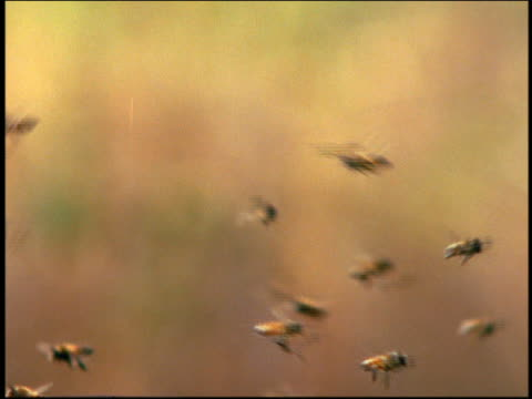 vídeos de stock, filmes e b-roll de close up swarm of bees / background out of focus - abelha