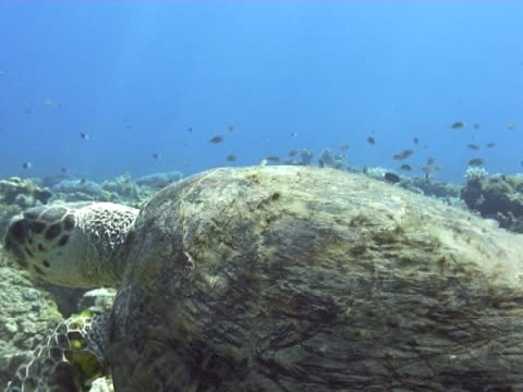 vidéos et rushes de close up swimming just above turtle over coral reef - organisme aquatique