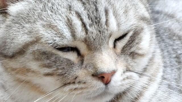 閉じるタビー猫は、床にアメリカのショートヘアとペルシャの睡眠を混合し、スローショット - ショートヘア種の猫点の映像素材/bロール