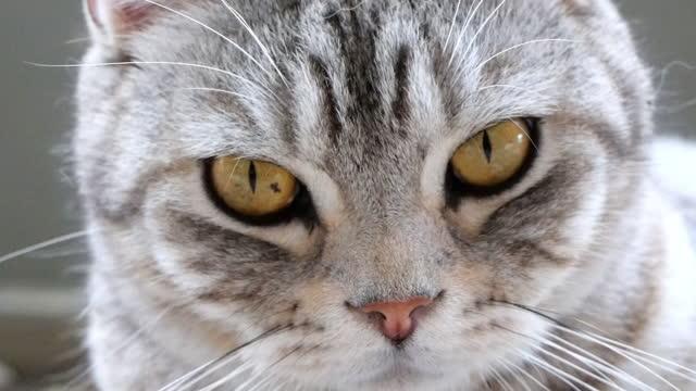 primo piano tabby gatto mescolato shorthair americano e sonno persiano sul pavimento, colpo lento - looking at camera video stock e b–roll