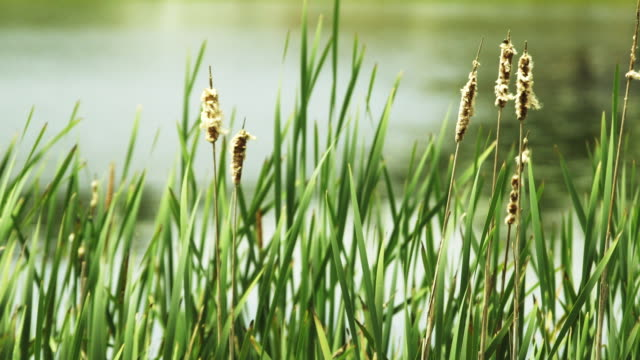 close up, tall grass by water - tall high stock videos & royalty-free footage