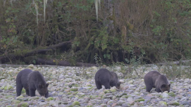 vidéos et rushes de close up: three bears, heads down digging in rocky shore - bois
