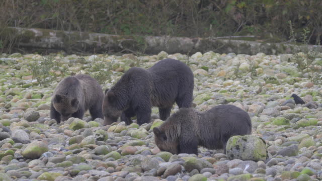 vidéos et rushes de close up: three black bears intensely searching, digging in rocky shore - bois