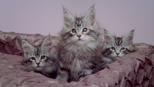 vídeos de stock, filmes e b-roll de close up three maine coon kittens sitting in bed/ california - três animais