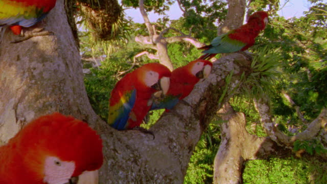 close up tilt down red + green macaws sitting in tree + looking at camera / tambopata, peru - tropical rainforest stock videos & royalty-free footage