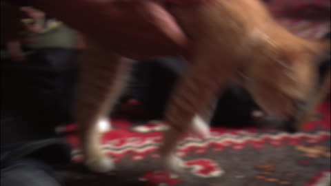 close up tilt up father and young son picking up + petting kitten on rug - rug stock videos & royalty-free footage