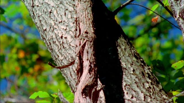 vídeos de stock, filmes e b-roll de close up tilt up long vine wrapping around tree trunk/ charlottesville, virginia - casca de árvore