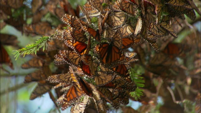 Close up tilt up mass of Monarch butterflies clinging to tree branch / Monarch Butterfly Biosphere Reserve, Ocampo, Mexico