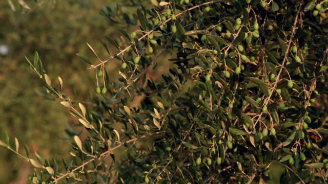 vidéos et rushes de close up tilt up olives on olive tree branches / tuscany, italy - branche partie d'une plante