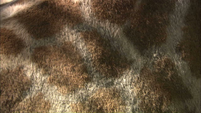 stockvideo's en b-roll-footage met close up tilt-down tilt-up - a giraffe's torso shows its spot pattern / south africa - animal hair