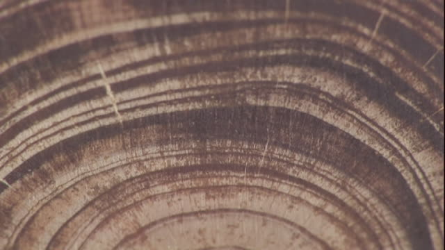 Close Up tilt-up - Concentric circles mark the layers of a tree in a cross-section of wood in a lab. / USA