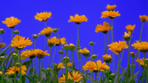 close up time lapse bunch of yellow flowers (coreopsis) blooming - sparklondon stock videos & royalty-free footage