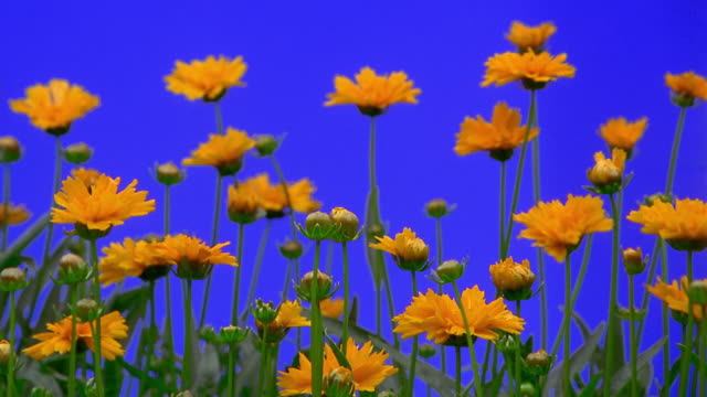 close up time lapse bunch of yellow flowers (coreopsis) blooming - sparklondon stock videos and b-roll footage