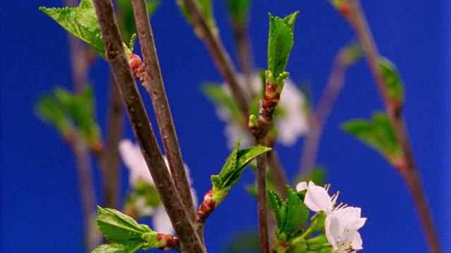 close up time lapse leaves and white flowers blooming from fruit tree branches - sparklondon stock videos and b-roll footage