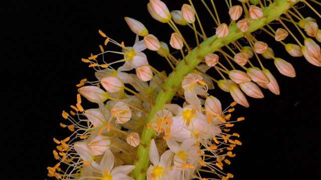 stockvideo's en b-roll-footage met close up time lapse multiple white and yellow buds on flower (deutzia?) blooming - bloeien tijdopname
