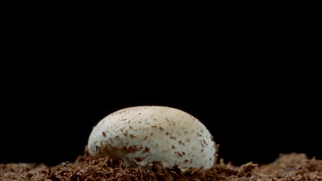 Close up time lapse mushroom growing from dirt in front of black background