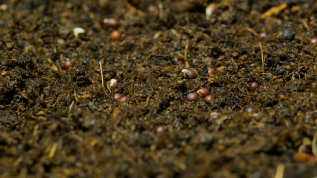 close up : time lapse of bean sprouts in soil - cultivated stock videos & royalty-free footage