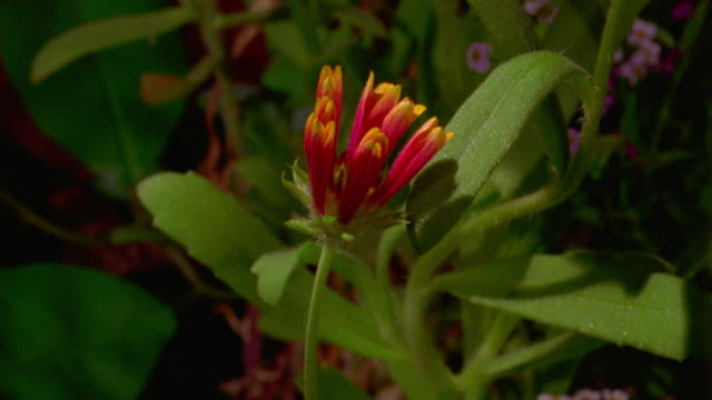 close up time lapse pink flower blooming with stems + leaves in background