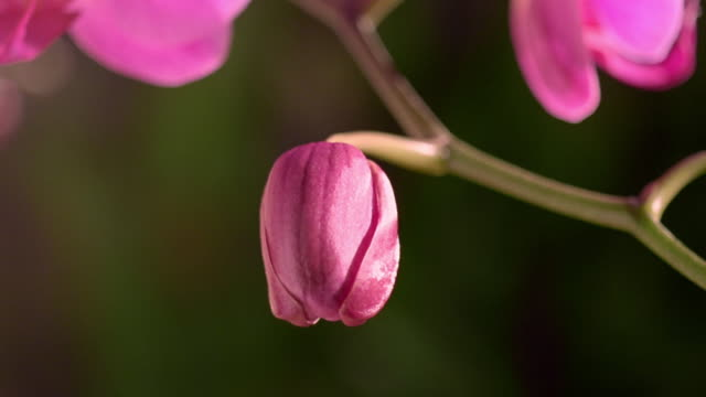 close up time lapse pink orchid blooming / other flowers in background - ラン点の映像素材/bロール