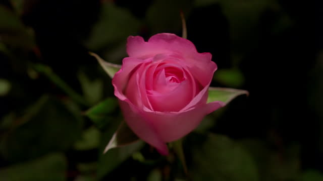Close up time lapse pink rose blooming in front of leaves / starts to wilt / Europe