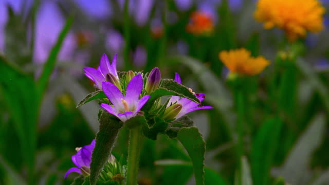 vidéos et rushes de close up time lapse purple flowers blooming, wilting and blooming - capitule