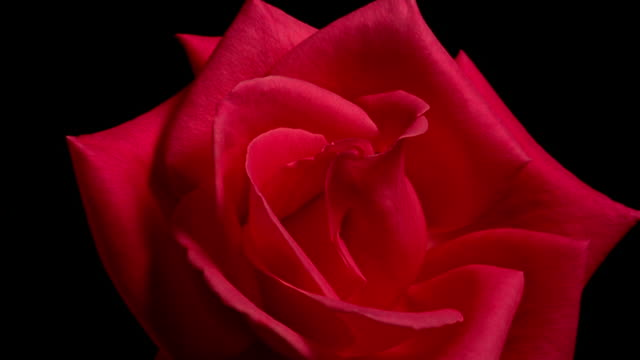 close up time lapse red rose blooming in front of black background / starts to wilt - しおれている点の映像素材/bロール