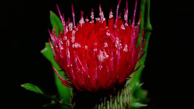 Close up time lapse red spiky flower with white tips blooming in close up time lapse red spiky flower with white tips blooming in front of black background stock footage video getty images mightylinksfo