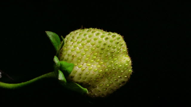 close up time lapse strawberry growing and turning red in front of black background - fruit stock videos & royalty-free footage