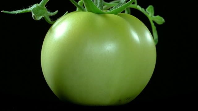 close up time lapse tomato on the vine ripening and turning red in front of black background - tomato stock videos & royalty-free footage