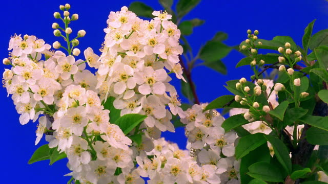 close up time lapse white flowers (pear?) blooming and wilting with leaves on tree - 出現点の映像素材/bロール