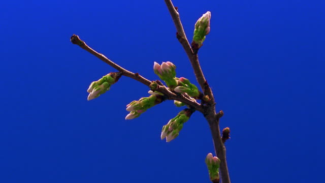 close up time lapse white flowers (cherry blossoms) blooming on branch - sparklondon stock videos and b-roll footage