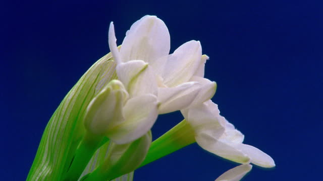 close up time lapse white flowers (narcissus) blooming - daffodil stock videos & royalty-free footage