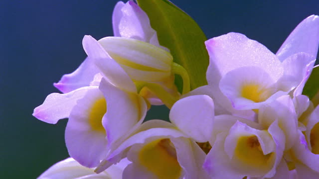 close up time lapse white flowers with yellow centers (dendrobium orchid) blooming - 出現点の映像素材/bロール