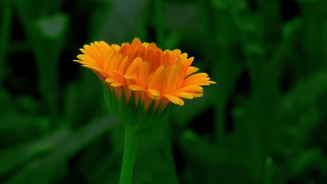 vidéos et rushes de close up time lapse yellow flower (coreopsis) blooming - yellow