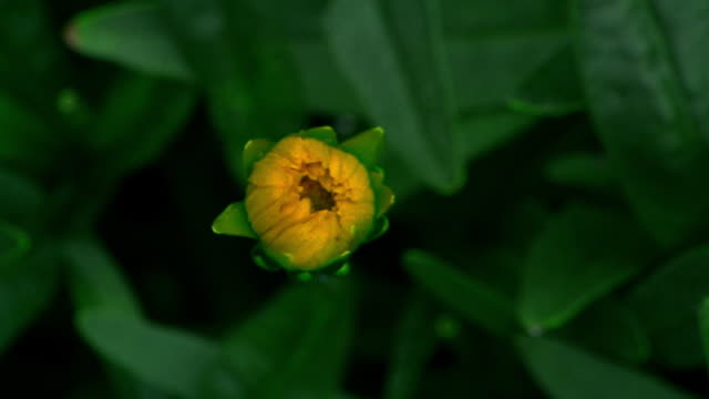 close up time lapse yellow flower (coreopsis) blooming - 出現点の映像素材/bロール
