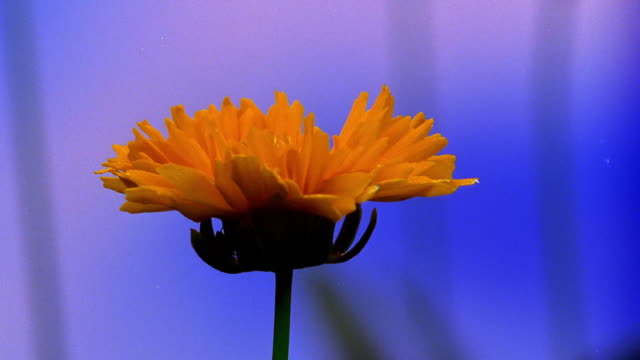 close up time lapse yellow flower (coreopsis) blooming - time lapse di fioriture video stock e b–roll