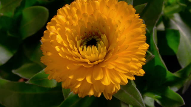 close up time lapse yellow marigold blooming outdoors - flower head stock videos & royalty-free footage