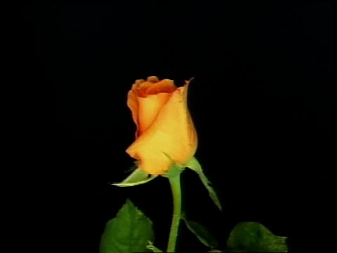 close up time lapse yellow rose blooming in front of black background - whatif点の映像素材/bロール