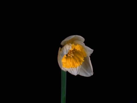 close up timelapse image of a daffodil flower opening. - murmursofearth点の映像素材/bロール