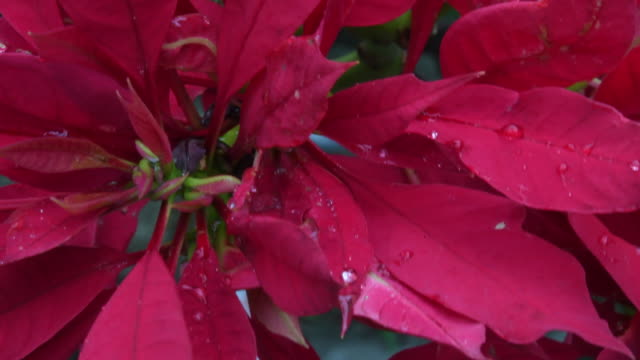 Close up to a red Christmas Flower or 'Flor de Pascua' with rain drops on its petals