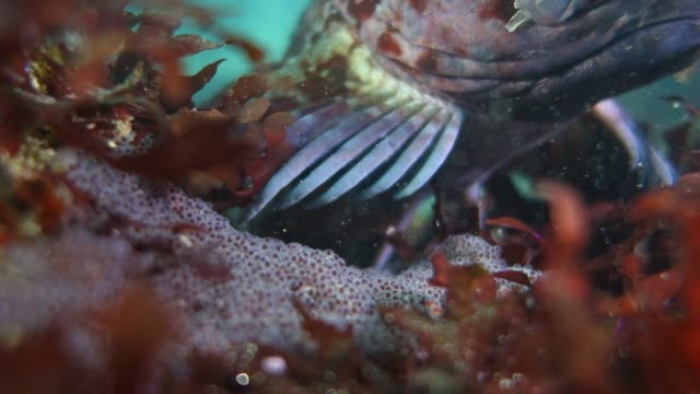 close up: tompot blenny rockpool fish darting towards camera - tompot blenny stock videos and b-roll footage