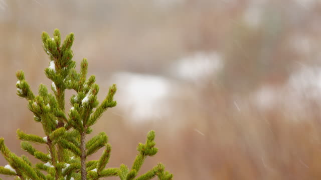Close up, top of pine tree in snow storm
