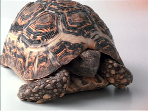close up tortoise in shell turning to walk away from camera in studio - tortoise shell stock videos & royalty-free footage